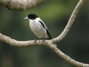 black-backed_butcherbird